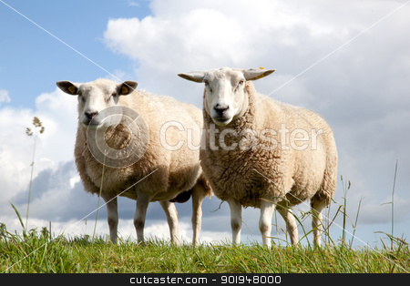 two sheep in the grass stock photo, two sheepstanding symmetrically in the grass by anton havelaar