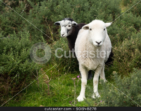 Two sheep curious stare at camera stock photo, White and black sheep stare at viewer in English Lake District by Steven Heap