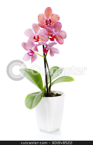 Pink orchid in a white flowerpot stock photo, Pink orchid in a white flowerpot on white background by klenova