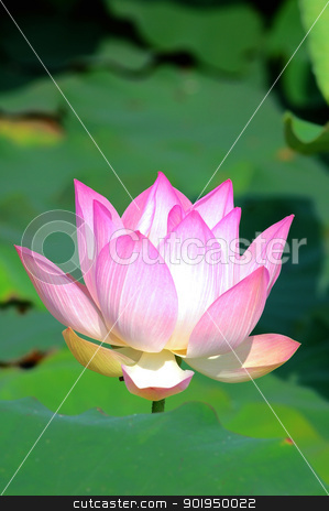 Pink lotus flower blooming in pond in the summer stock photo, Pink lotus flower blooming in pond in the summer by John Young