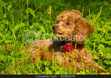 Poodle puppy lies on the grass stock photo, July. The red miniature poodle puppy lies on the green grass. by Viacheslav Belyaev