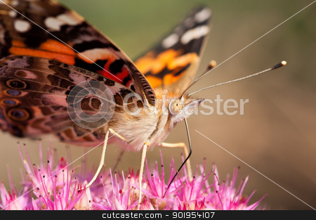 Moth stock photo, A moth is attracted to a seedum plant. by Joe Tabb