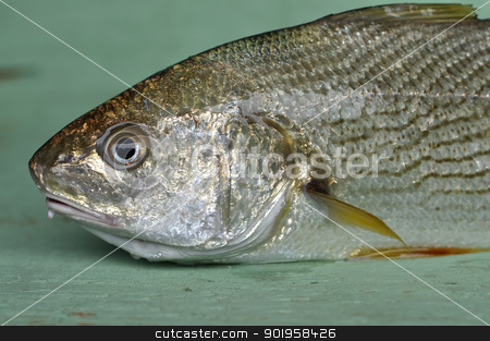 Croaker stock photo, Closeup of fresh caught yellowfin croaker on wood table by Chad Zuber