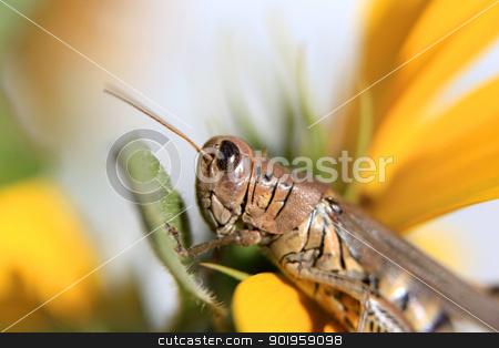 Grasshopper on a flower stock photo, Macro shot of Grasshopper on a flower by Sreedhar Yedlapati