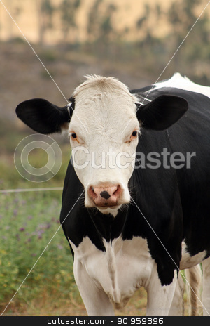 Front of a Cow stock photo, A black and white Hershey Cow in a farmers pasture in Cotacachi, Ecuador by Robert Hamm