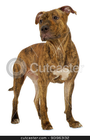 Dog on white background stock photo, Staffordshire terrier dog standing on a clean white background  by Lars Christensen