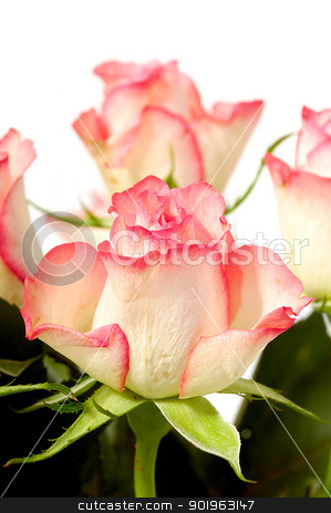 Roses stock photo, Pink and white rose flowers isolated on white background by Lars Christensen