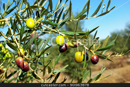 Olives hanging on tree. stock photo, Olives hanging on tree. by Inacio Pires