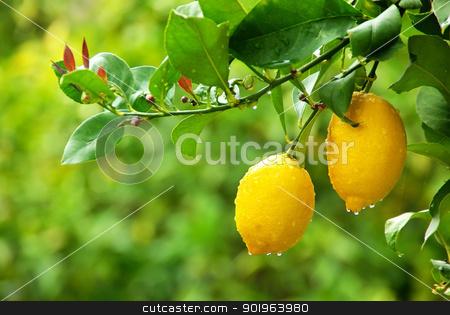 yellow lemons hanging on tree stock photo, yellow lemons hanging on tree by Inacio Pires