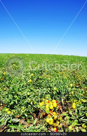ripe tomatoes on green field stock photo, ripe tomatoes on green field by Inacio Pires
