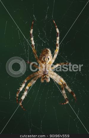 The European garden spider (Araneus diadematus, cross spider) stock photo, The European garden spider (Araneus diadematus, cross spider). by Stocksnapper