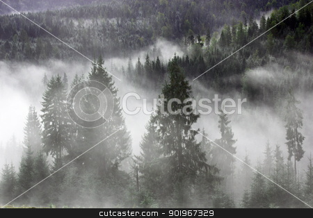 spruces in the mist stock photo, mountain forest covered by the morning mist by coroiu octavian