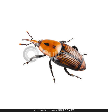 red palm weevil stock photo,  red palm weevil isolated on white background by paulrommer