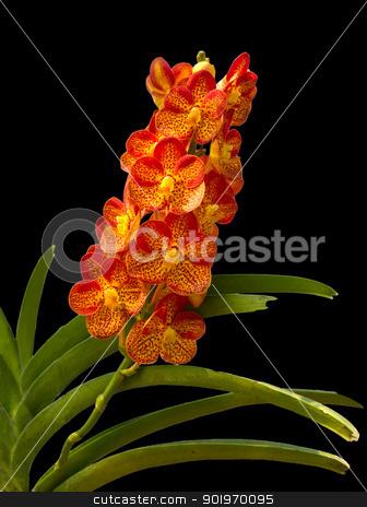 Orange Orchid  stock photo, Beautiful Orange and Red Phalaenopsis Orchid on black background by stoonn