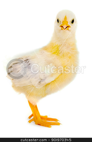 Chicken baby stock photo, Sweet baby chicken is standing on a clean white background. by Lars Christensen