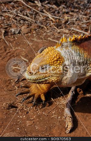 Galapagos land iguana stock photo, Closeup of a Galapagos land iguana by Sarah Marchant