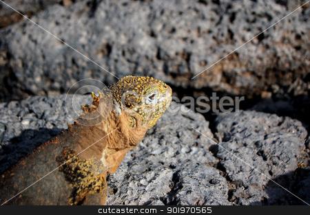 Galapagos land iguana on volcanic rock stock photo, Closeup of a Galapagos land iguana on volcanic rock by Sarah Marchant