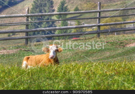 cow laid in the grass stock photo, cow laid down in the middle of a meadow by coroiu octavian