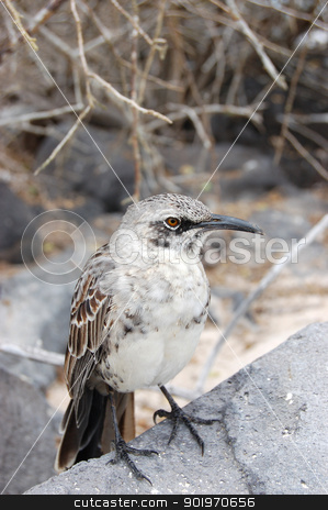 Mockingbird in the Galapagos Islands stock photo, Mockingbird perched on volcanic rock in the Galapagos Islands by Sarah Marchant