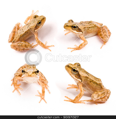frog stock photo, Four frog in different position isolated on a white background  by Grafvision
