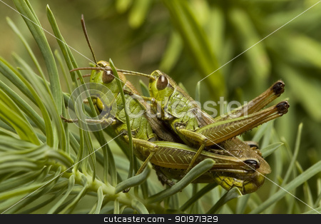 two green locust stock photo, two green locust in nature, macro shot  by Grafvision