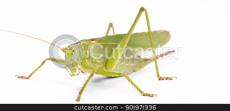 green locust  stock photo, green locust isolated on white background by Grafvision