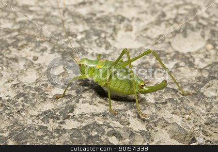 green locust  stock photo, green locust in stone background by Grafvision