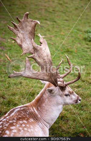 male fallow deer stock photo, male fallow deer lying in the grass by anton havelaar
