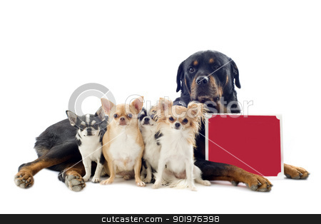 rottweiler and chihuahuas stock photo, portrait of a purebred rottweiler and  chihuahuas with a  placard  in front of white background by Bonzami Emmanuelle