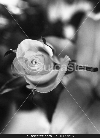 Single beautiful rose stock photo, Black and white monochrome image from an overhead perspective of a single beautiful half open rose by pcooklin