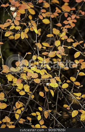 Yellow autumn leaves stock photo, Colourful yellow autumn or fall leaves on a shrub marking the changing of the seasons by Joshua Hilton