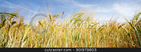 wheat field stock photo, Frontal image of wheat field by carloscastilla
