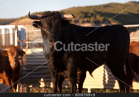 Black bull on a farm stock photo, Close up image of black bull on a farm by carloscastilla
