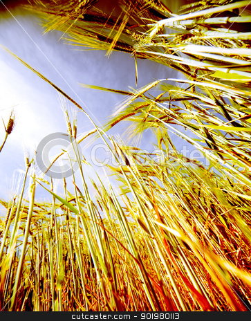 wheat field  stock photo, Close up image of wheat field against the sky by carloscastilla
