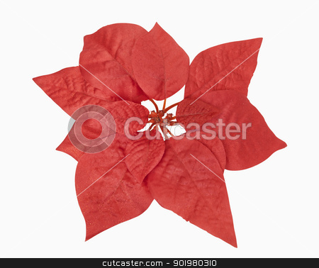 Red Christmas Plant stock photo, Red christmas plant, includes clipping path by Bryan Mullennix