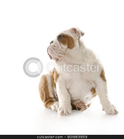 cute puppy stock photo, adorable three month old english bulldog puppy sitting with reflection on white background by John McAllister