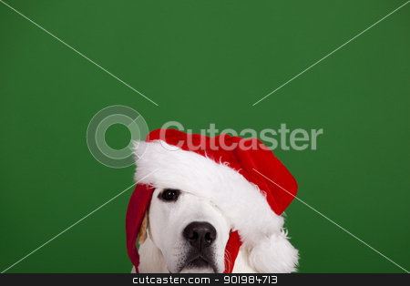 Christmas Dog stock photo, Portrait of a Labrador Retriever with a Santa hat isolated on a green background by ikostudio