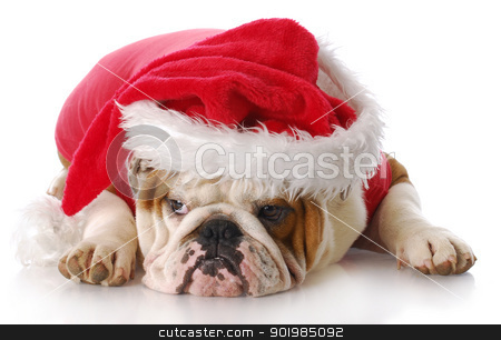 santa dog stock photo, english bulldog with sad expression dressed up like santa claus with reflection on white background by John McAllister