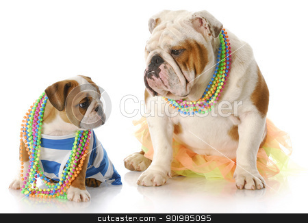 mother and daughter dogs stock photo, english bulldog mother and puppy dressed up in girl clothes with jewellry with reflection on white background by John McAllister