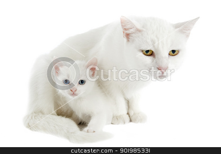 white kitten and mother stock photo, young white kitten and his mother in front of white background by Bonzami Emmanuelle