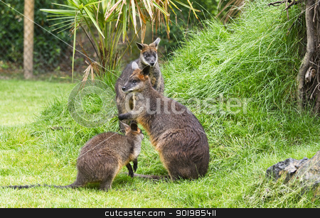 Swamp wallabies in park stock photo, Three Swamp wallabies in park on rainy day in summer by Colette Planken-Kooij