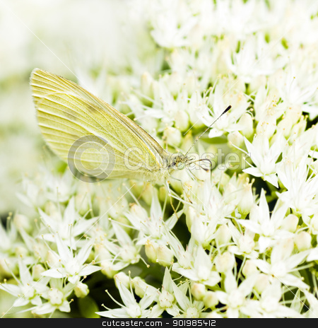 Small white on Sedum flowers  stock photo, Small white on white Sedum flowers in late summer by Colette Planken-Kooij