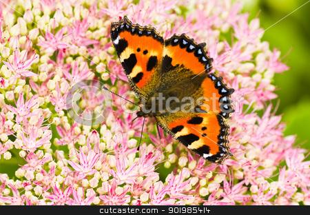 Small tortoiseshell butterfly on Sedum flowers stock photo, Small tortoiseshell butterfly or Aglais urticae on Sedum flowers in late summer by Colette Planken-Kooij