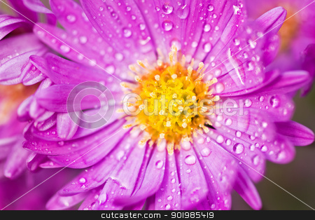 Close up of New York aster  stock photo, Close up of New York aster or Michaelmas daisy flowering in autumn sunshine by Colette Planken-Kooij