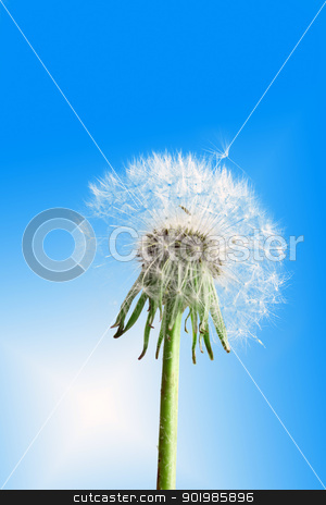 Dandelion flower on blue sky stock photo, One fluffy dandelion flower on blue sky background as white clouds. Close-up. Studio photography. by Andrey Khritin