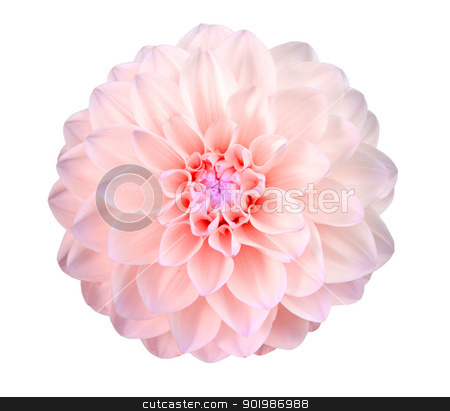 Single pink flower stock photo, Single pink flower. Isolated on white background. Close-up. Studio photography. by Andrey Khritin