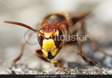 mandibles of the giant hornet stock photo, Closeup of the giant hornet by Siloto
