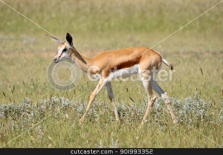 Springbok in the Etosha National Park 3 stock photo, Solitary Springbok in the Etosha National Park by Grobler du Preez