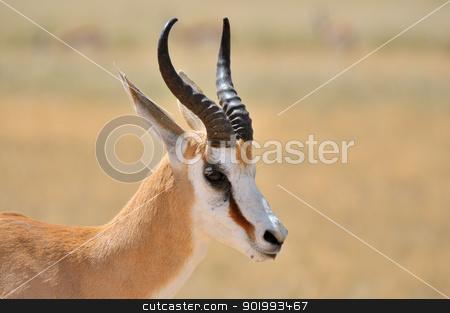 Springbok in the Etosha National Park 1 stock photo, Solitary Springbok in the Etosha National Park by Grobler du Preez