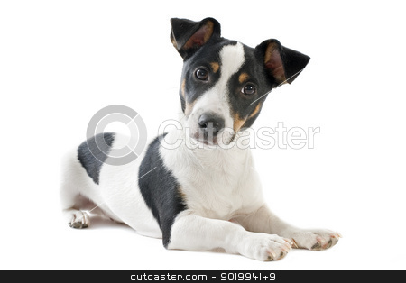 puppy jack russel terrier stock photo, portrait of a purebred puppy jack russel terrier in studio by Bonzami Emmanuelle
